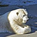 Polar Bear by SC Heffner