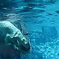 Polar Bear by Steve Karol