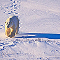 Polar Bear Tracks by Randy Green