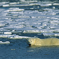 Polar Bear Wading Along Ice Floe by Konrad Wothe