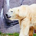 Polar Bear Walking by Pati Photography