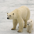 Polar Bear With Cub by John Shaw