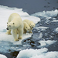 Polar Bear With Cubs On Pack Ice by Ingrid Visser