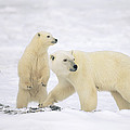 Polar Bear With Two Cubs Churchill by Konrad Wothe