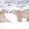 Polar Bears Introducing Themselves by Dan Guravich