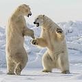 Polar Bears  Ursus Maritimus  Sparring by Robert Postma