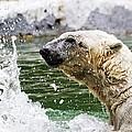 Polar Splash by Alice Gipson