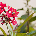 Polen Gathering Bee by Csaba Friss