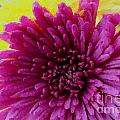 Polka Dot Purple Mum by Barbara Griffin