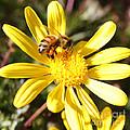 Pollen-laden Bee On Yellow Daisy by Carol Groenen