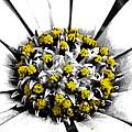 Pollen  by Steve Taylor