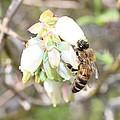 Pollinating Blueberries by Lucinda VanVleck