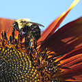 Pollinating Sunflower Seeds by Sharon Talson