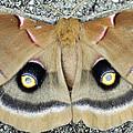 Polyphemus Moth  by Deborah Good