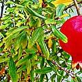 Pomegranate by Jennifer Boisvert