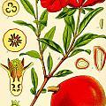 Pomegranate by Georgia Fowler