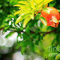 Pomegranate On A Tree by Beverly Claire Kaiya