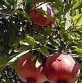 Pomegranate Tree  by Bob Phillips