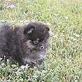 Pomeranian Alert Puppy by Trudi Olfert