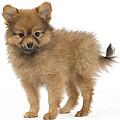 Pomeranian Puppy Dog by Jean-Michel Labat