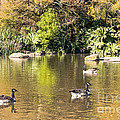 Pond Geese by Kate Brown