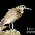 Pond Heron by Anthony Mercieca
