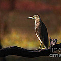 Pond Heron by Milind Waichal