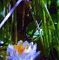 Pond Lily 28 by Pamela Cooper