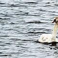 Pond Swan by Linda Kerkau