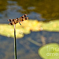 Pond Visitor by Cheryl Baxter