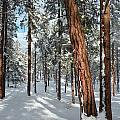 Ponderosa Winter by Jennifer Lake