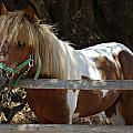 Pony Horse by Zoran Berdjan