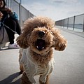 Poodle Dog by FL collection