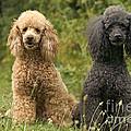 Poodle Dogs by Jean-Michel Labat