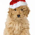 Poodle In Christmas Hat by Jean-Michel Labat