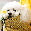 Poodle In Pouch by Donna Doherty