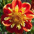 Pooh Dahlia Flower by Thomas J Rhodes