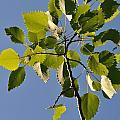 Poplar Leaves by Valerie Kirkwood