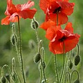 Poppies 2 by Carol Lynch