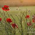 Poppies At Sundown by Elizabeth Debenham