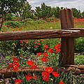 Poppies At The Farm by Lynn Bauer