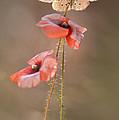 Poppies by Jaroslaw Blaminsky