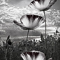 Poppies by Debra and Dave Vanderlaan