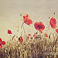 Poppies by Diana Kraleva