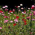 Poppies Gettin Sun by Rich Franco