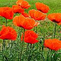 Poppies by Heather Farr