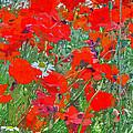 Poppies II by David Pringle