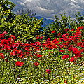 Poppies In Remembrance by Rachel Down