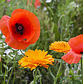 Poppies In The Wild by Chris Smith