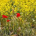 Poppies In Yellow Field by John  Nickerson
